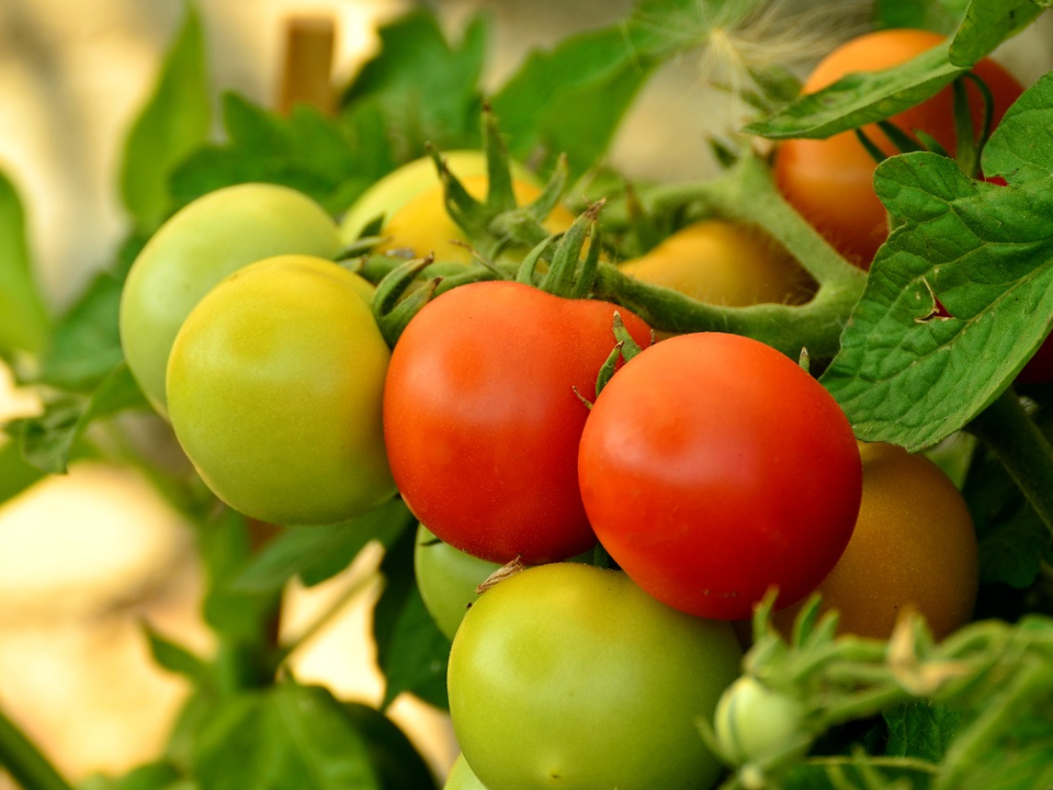 【智慧農業技術擴散媒合會】找出牛番茄的「快樂因子」,對抗高溫高濕的夏季逆境