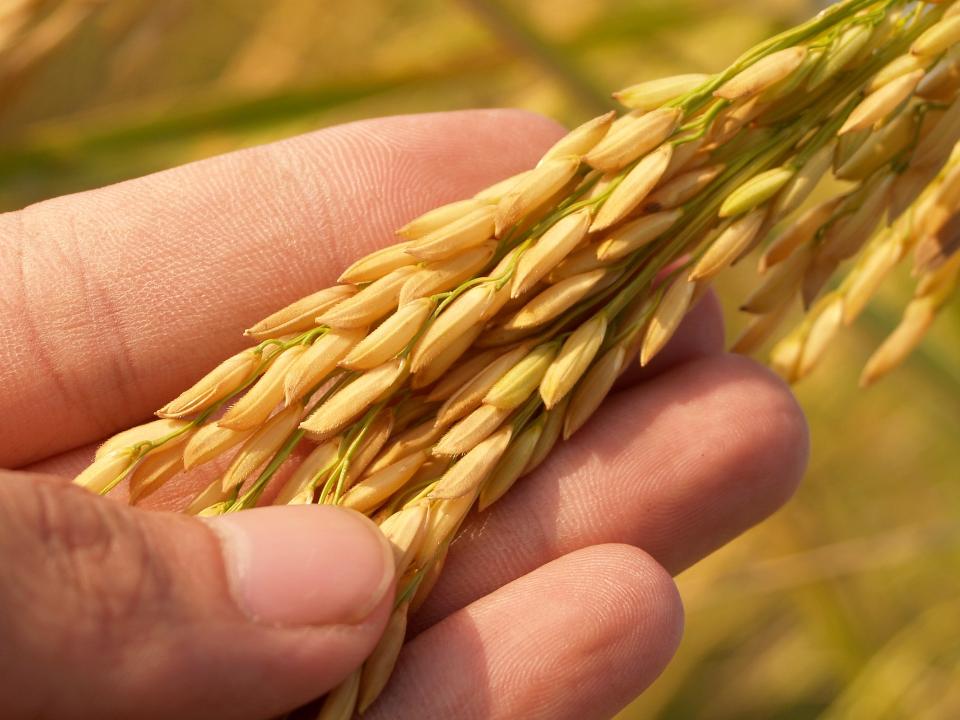 【2021農業智庫報導年報 #4】水稻分子育種與智慧栽培,全球趨勢台灣不缺席