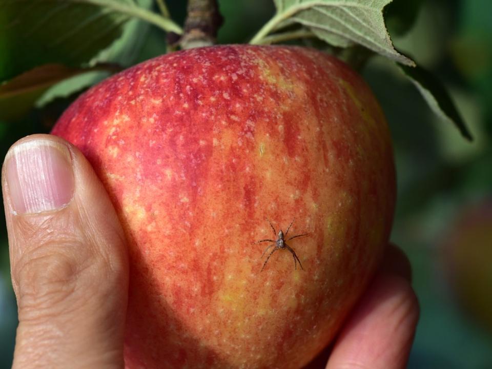 【農業觀測站】作物生產整合管理(IPM)如何影響天敵?由捷克蘋果園蜘蛛多樣性談起
