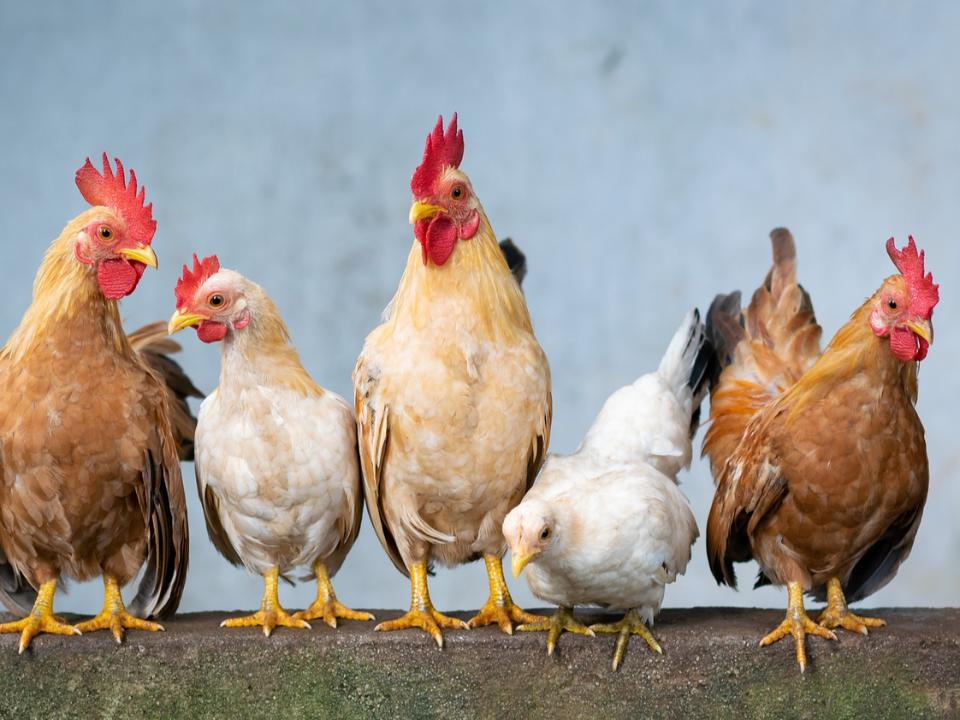 【智慧農業技術擴散媒合會】手機遠端監控雞隻狀況:家禽熱影像與體重監測系統